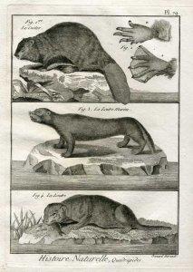 biber_grafik_histoire_naturelle_bonnaterre_1791_web