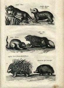 biber_grafik_merian_jonston_historia-naturalis_1660-web