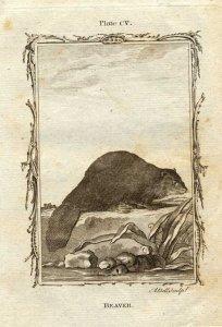 biber_grafik_bell_natural_history_buffon_1785_web