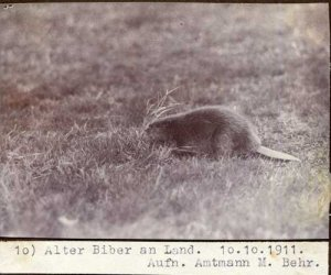 elbebiber_alter_biber_an_land10_behr_web