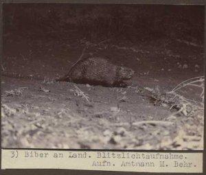 elbebiber_biber_an_land3_blitzlicht_behr_web