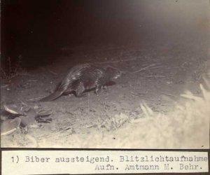 Elbebiber_Biber_aussteigend_Blitz_Behr_web