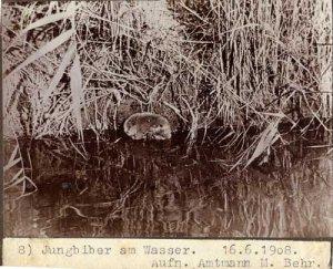 elbebiber_jungbiber_am_wasser_amtmann_behr_1908_web
