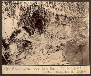 elbebiber_jungbiber_vor_dem_bau_1_amtmann_behr_1908_web