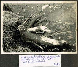 elbebiber-weidenschnitt-pretzien-grosse-sorge-1959