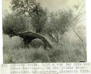 elbebiber-schmiedesee-bei-loedderitz-1928-31