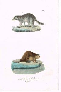 buffon-le-castor-le-raton-1837