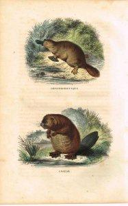 buffon-schnabeltier-und-biber-1850