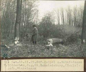 elbebiber-gefaellte-pappel-am-schmiedesee-1925