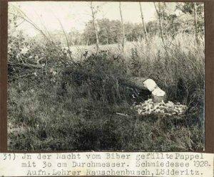 Elbebiber_31_1928_Pappel_Schmiedesee_web