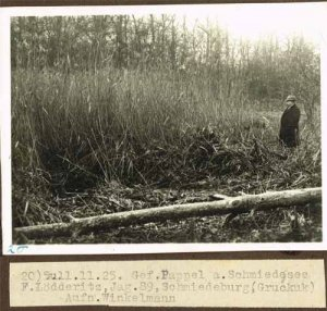 elbebiber-gefaellte-pappel-am-schmiedesee-2-1925