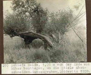 elbebiber-schiefe-weide-vom-biber-bestiegen-1928