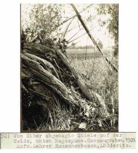 elbebiber-schiefe-weide-vom-biber-bestiegen-2-1928