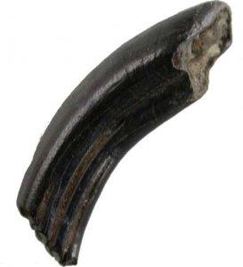 pleistozaen-biberzahn-castor-canadensis