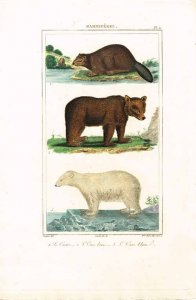 buffon-le-castor-ours-brun-ours-blanc-1827