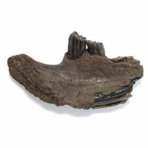 fossil-biber-unterkiefer-pleistozaen-heidelberger-becken
